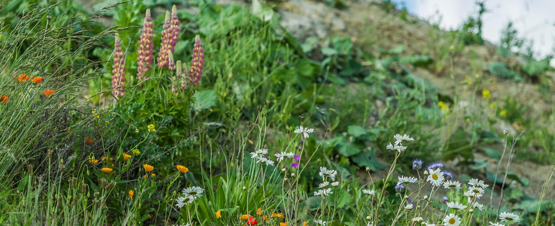 Die Erddeponie - als Teil der Renaturierung eine ideale Basis für heimische Pflanzen