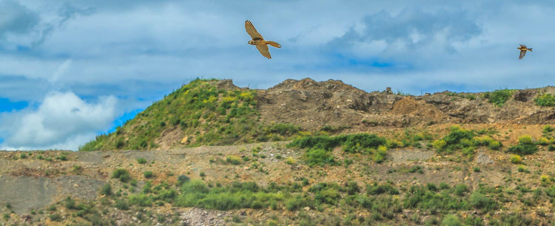 Die Erddeponie - als Teil der Renaturierung ein ideales Jagdrevier für heimische Greifvögel